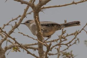 Yemen Warbler (Sylvia buryi)