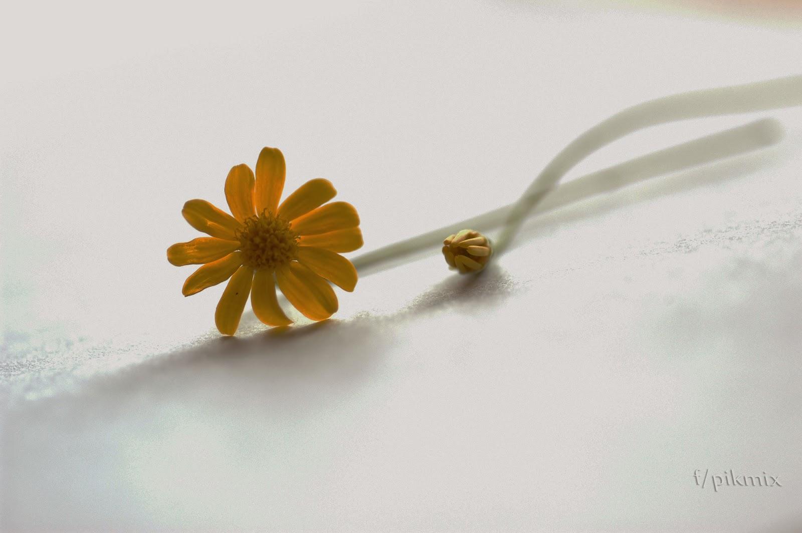 Margarita amarilla ~ Wallpaper
