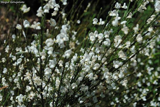 Giesta branca (Cytisus striatus)