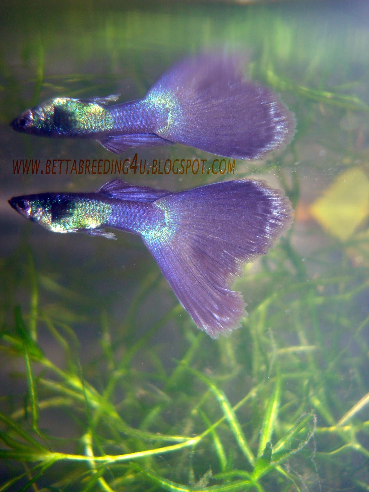 All about betta fish moscow black guppies for All about fish