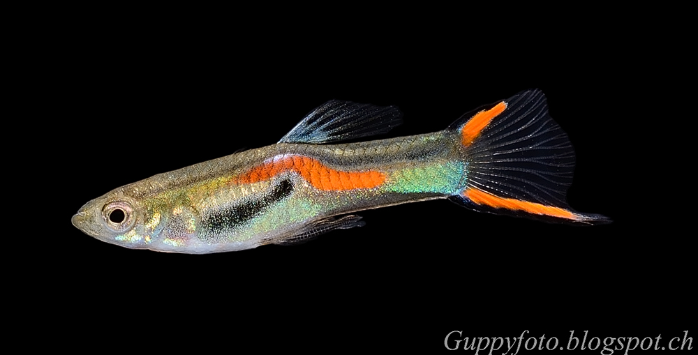 Red Scarlet Endler Male X Wild Type furthermore Canal Regulation Works M4pptx furthermore 1426044 likewise Kunsthal museum as well Meningitis 4649870. on types of crosses