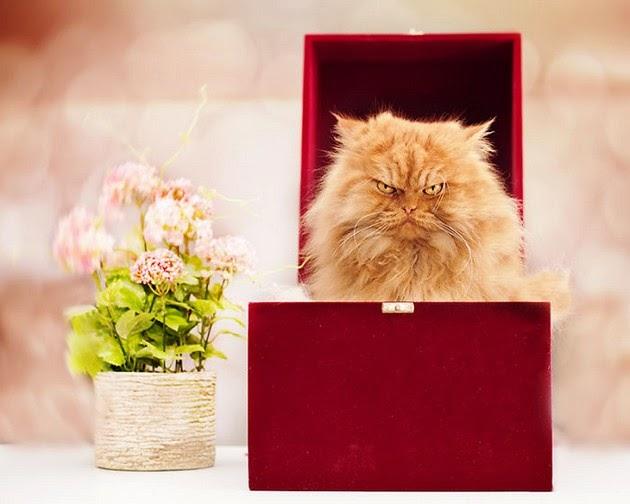 Persian-cat-2