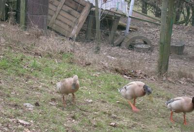 Laufenten in Entenhausen / Holthausen