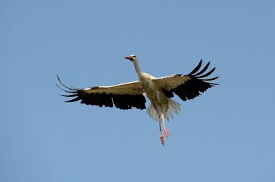 állatvilág, madarak, vándormadarak, gólyák, gólyák vándorlása,