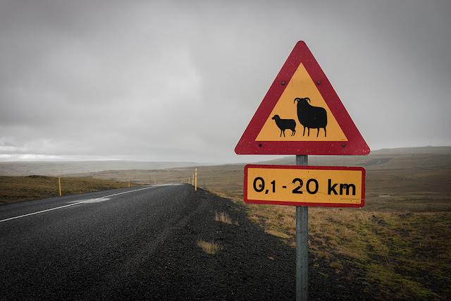 Owce na Islandii - Kartki z Podróży