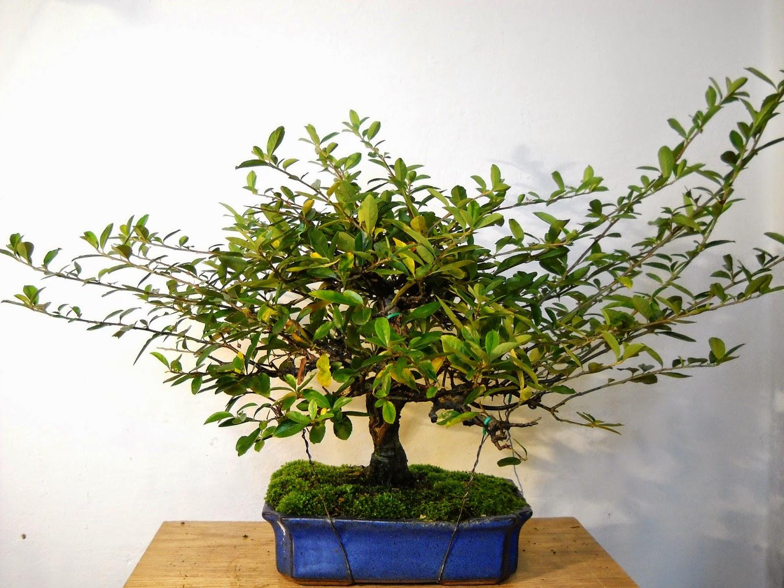 Chin Bonsai Pyracantha 39Soleil D39Or