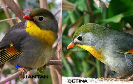 Cara Membedakan Jenis Kelamin Burung Robin Jantan dan Betina