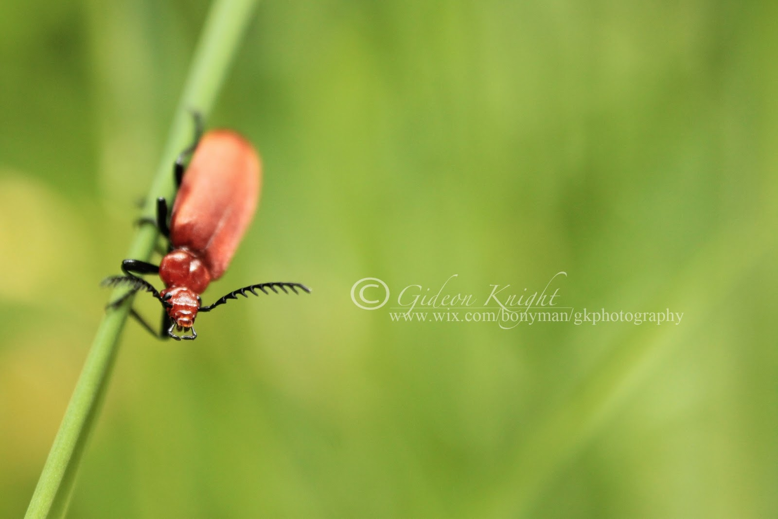 how to get rid of red lily beetles