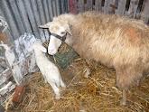 Ενδείξεις δυστοκίας στο πρόβατο