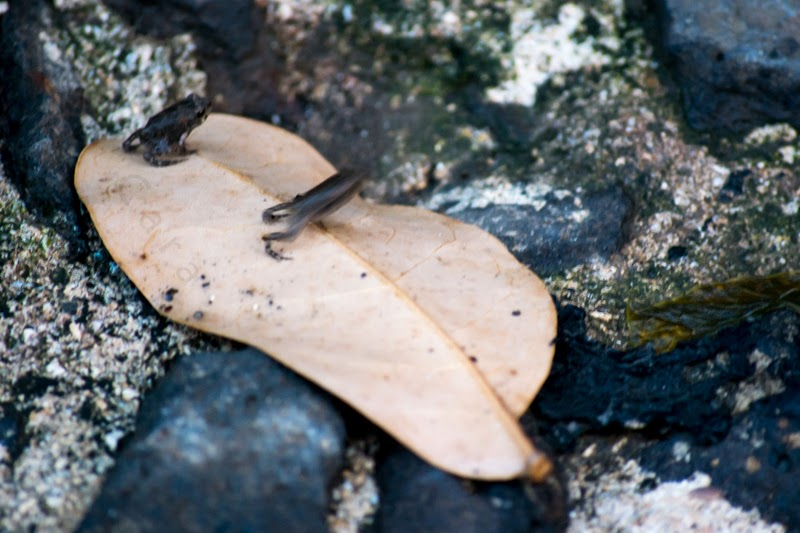 Deux petites grenouilles ou crapaud sur une feuille, dont l'une est en train de sauter