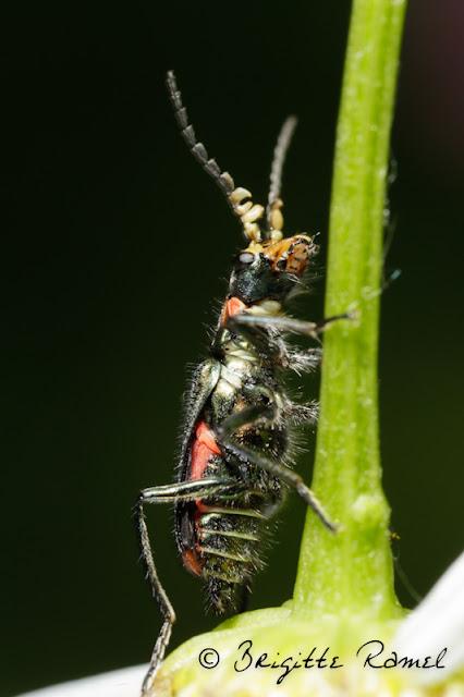 mélyride insecte