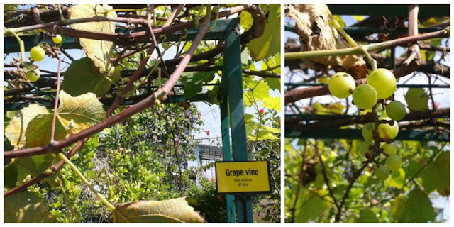 secret-garden-one-utama-grapes