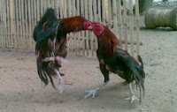 Kapan Ayam Aduan Bangkok Siap Ditarungkan?