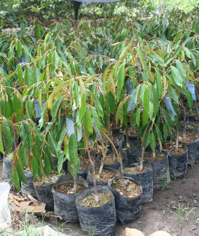 Jual Bibit Durian Unggul Jual Bibit Durian Di Kendari