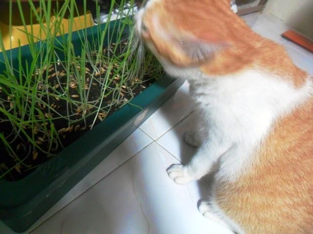 bedul kucing kencing batu