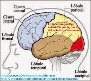 """La neurolingüística """"estudia los mecanismos –la parte física- del cerebro humano"""" que facilita el conocimiento y la comprensión del lenguaje, ya sea hablado, escrito o con signos establecidos a partir de su experiencia con el entorno o de su propia programación interna. La neurolingüística es un tema de interés central para la neurociencia cognitiva, y las modernas técnicas de imagen cerebral como la tomografía cerebral, el escáner computarizado, la resonancia magnética, el electroencefalógrafo entre otros, han contribuido considerable-Mente a un mayor entendimiento de la organización anatómica cerebral, de las funciones del lenguaje, en lo que a la parte física del cerebro se refiere (neuronas del lenguaje)."""