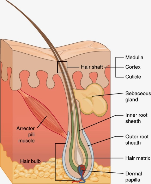 anatomy of the hair The integumentary system is an organ system consisting of the skin, hair, nails, and exocrine glands the skin is only a few millimeters thick yet is by far the.