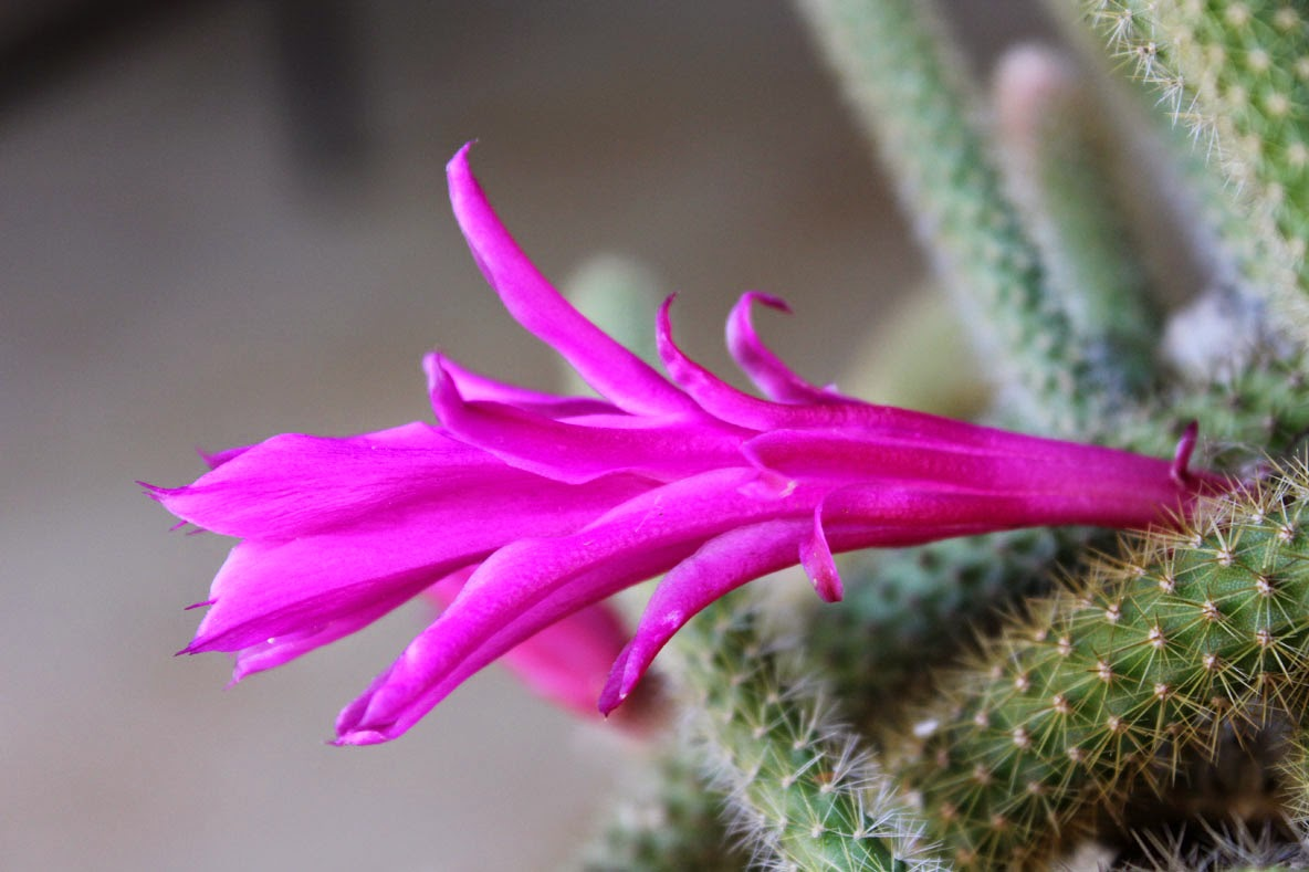 Gardening In Africa Flower Of The Rattail Cactus
