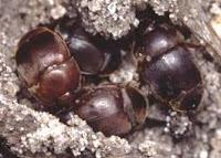 Aethina Tumida خنفساء خلايا النحل الصغرى