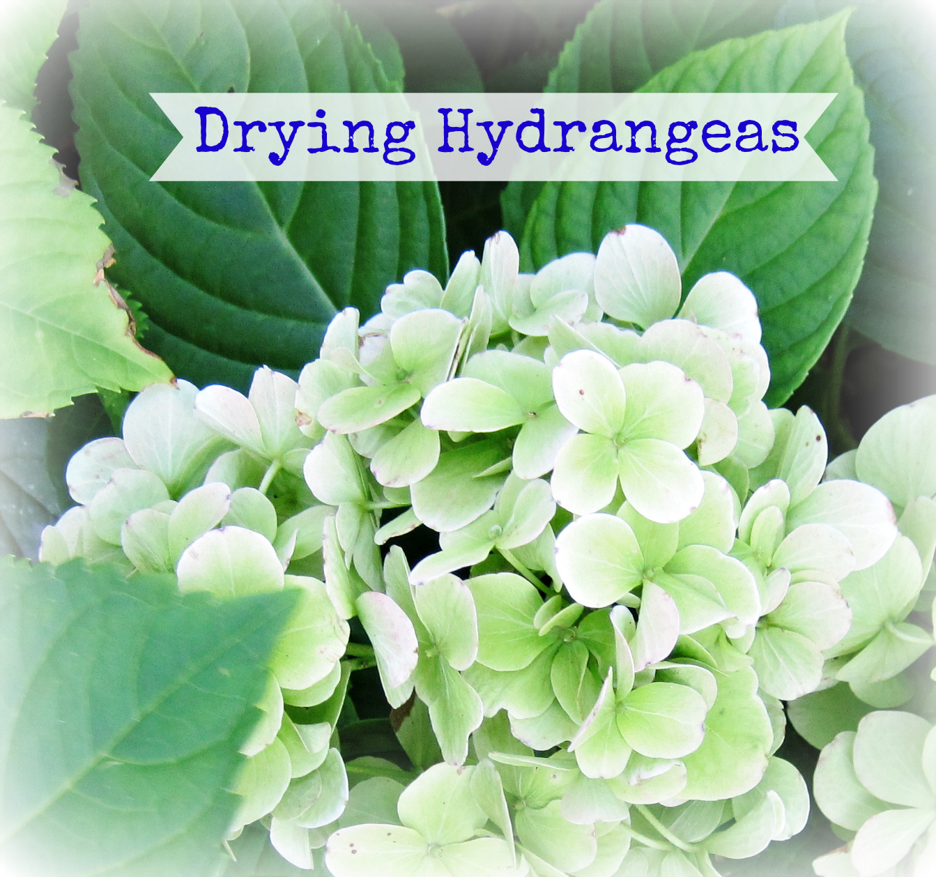 drying hydrangeas tutorial