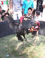 gambar ayam vietnam