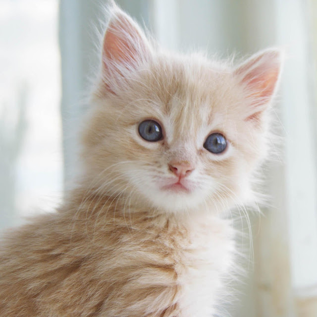 Cutest Cat Breeds In The World - Cats Types