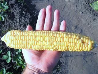 15 августа, спелый початок кукурузы