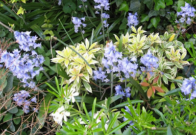 Pieris and bluebells