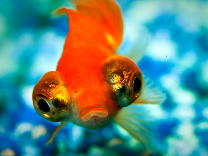 Telescope eye goldfish 2 images frompo for Big gold fish