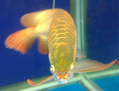 Supper red arowana (mistra)