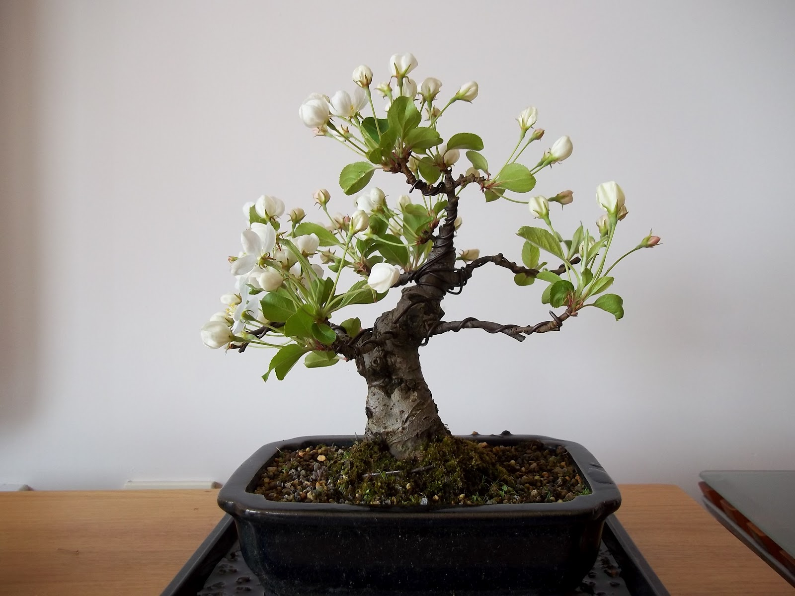Ronin Bonsai My Visit To Ken39s Update