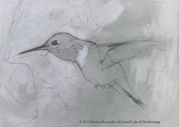 Rufous hummingbird drawing - photo#23