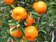 budidaya jeruk, cara menanam jeruk, cara budidya jeruk