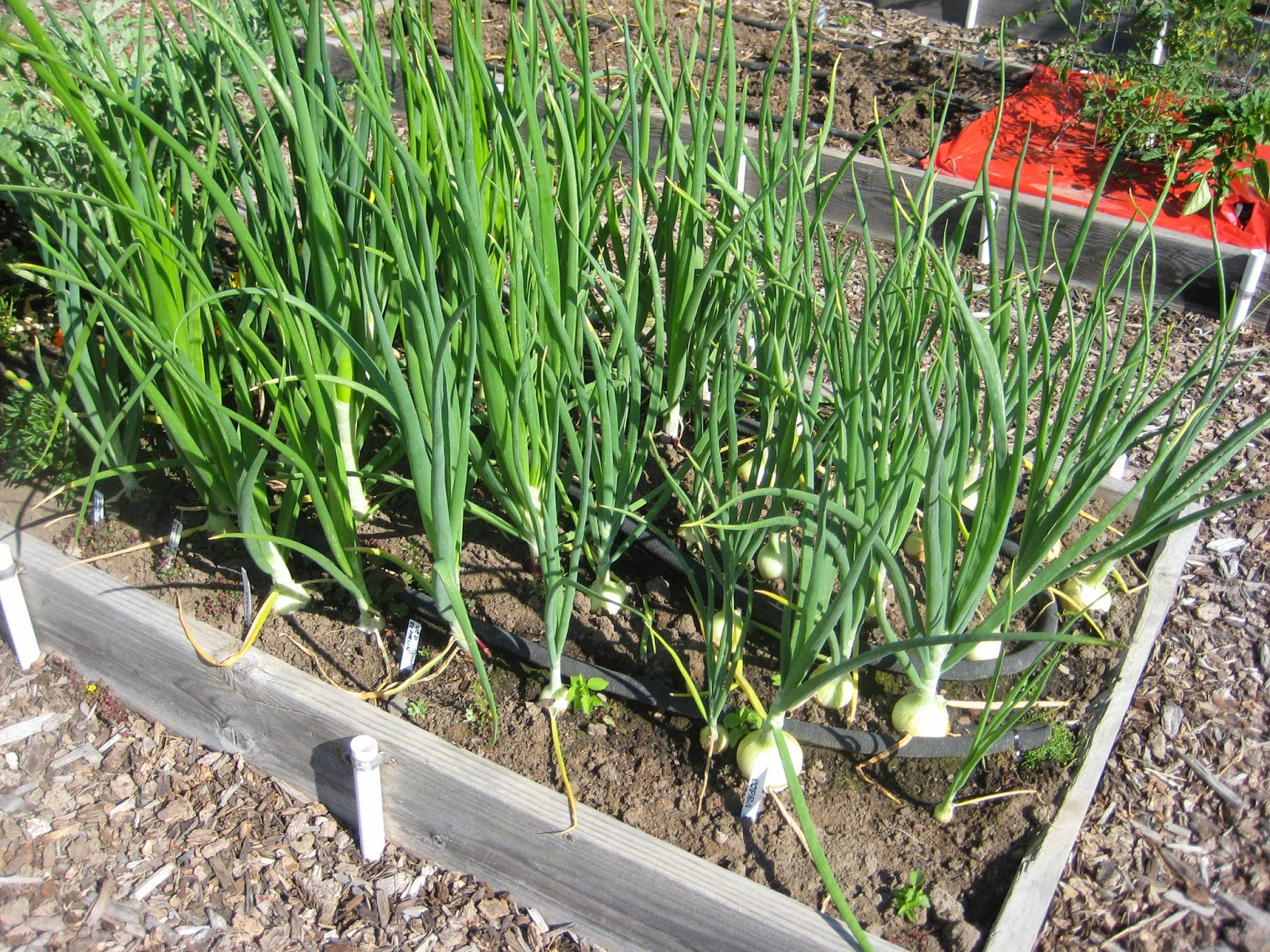 Interesting information about onions susan 39 s in the garden - Unknown uses for an onion ...