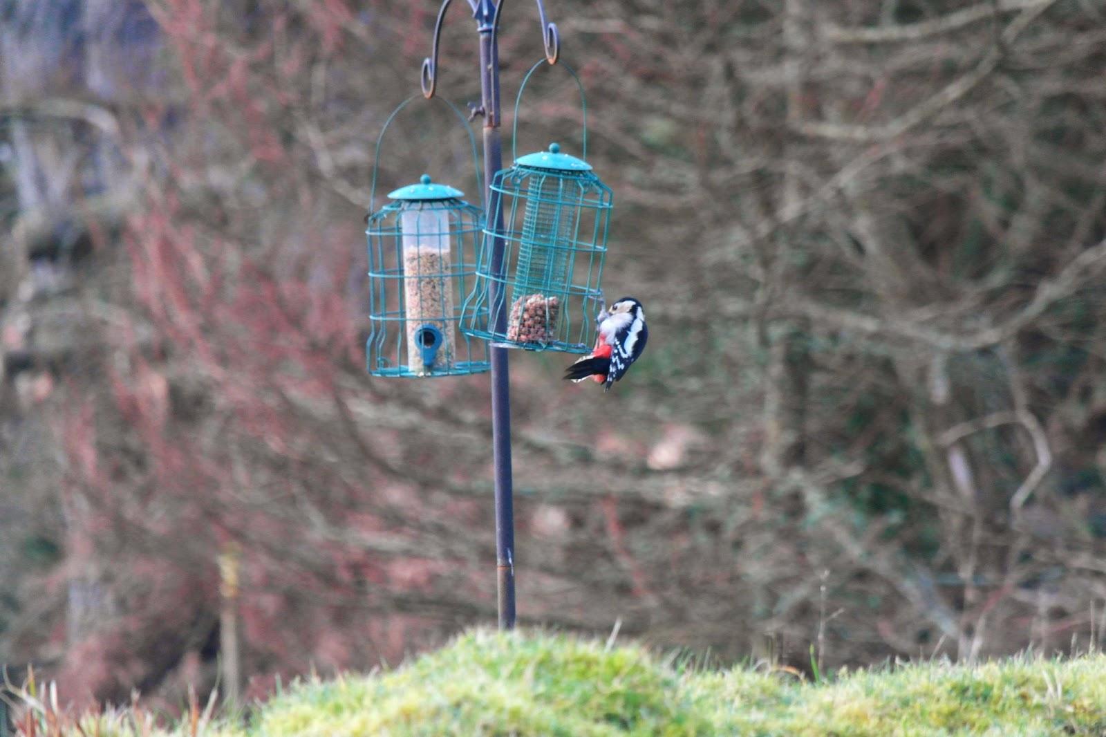 Woodpecker on bird feeder