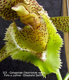 Catasetum fimbriatum verde do blogdabeteorquideas