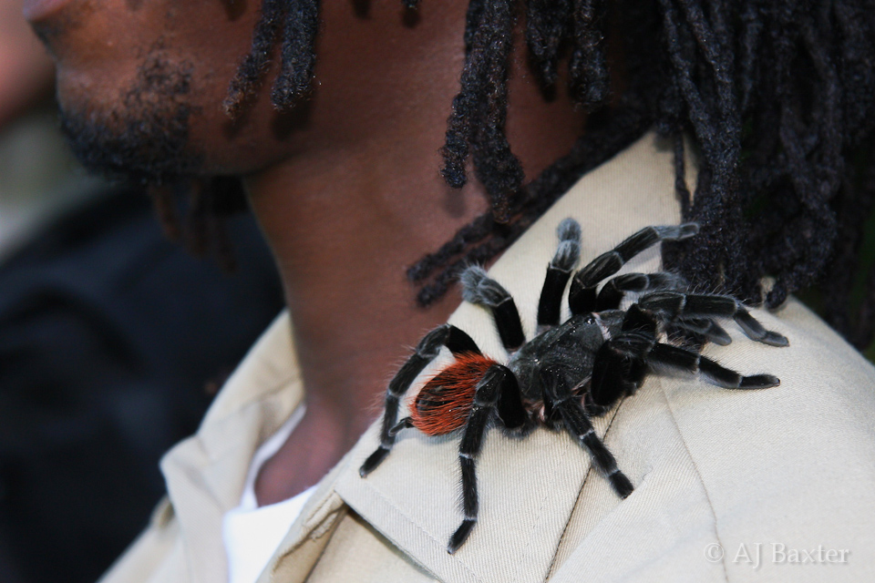 Image: spider, red belly tarantula, Mexican red rump