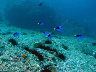 Blue Tang Fish pictures