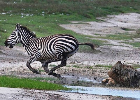 Leon vs Cebra