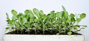 Organic Cabbage seedlings