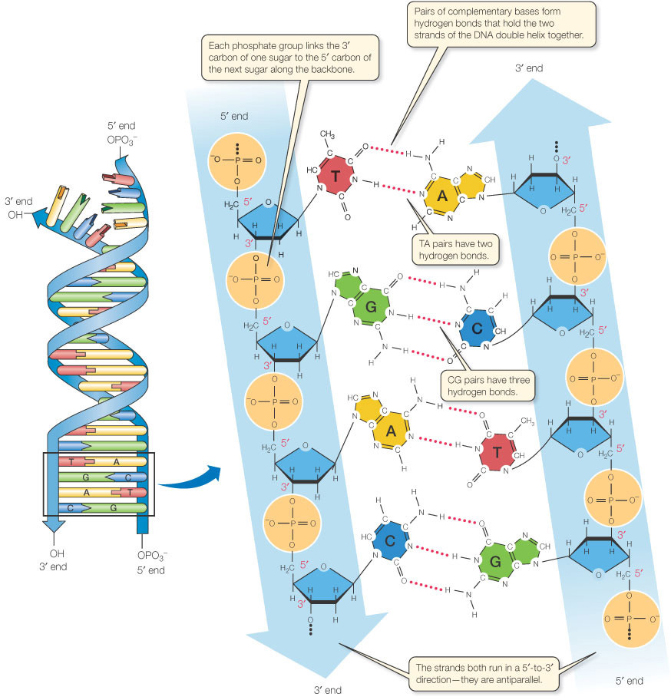 What is Complementary Bases in DNA ? | DNA and RNA
