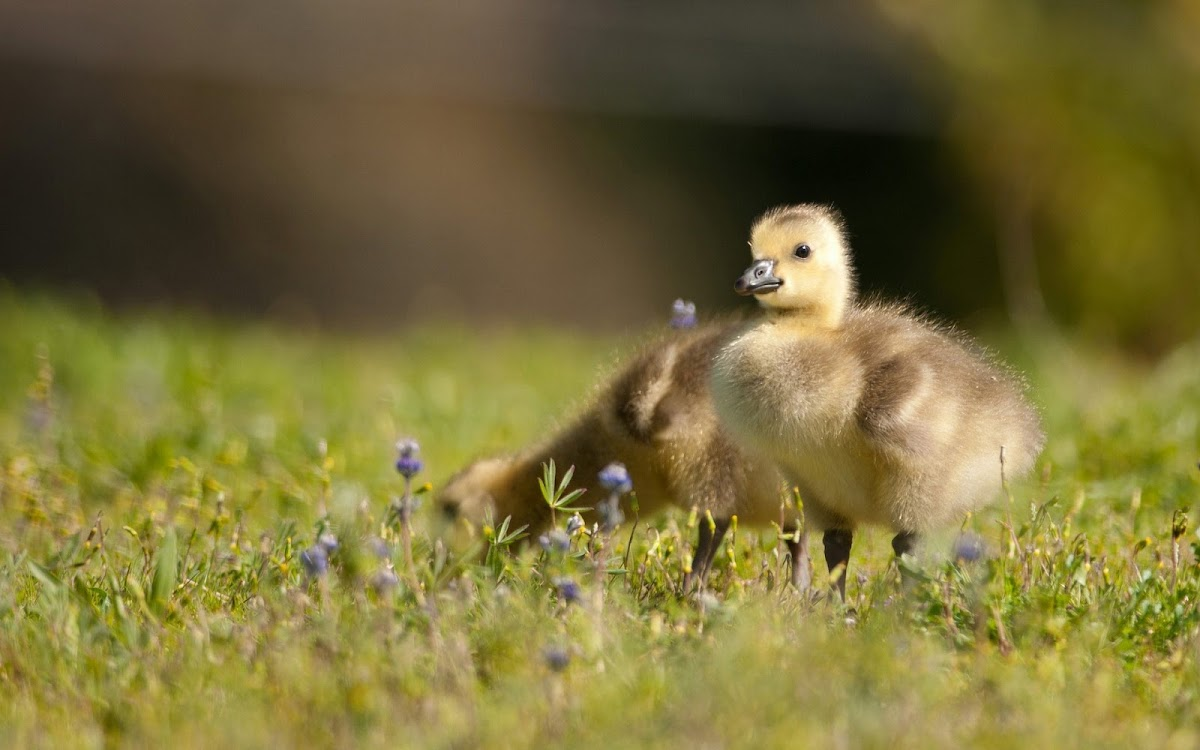 Duck Babies Widescreen HD Wallpaper