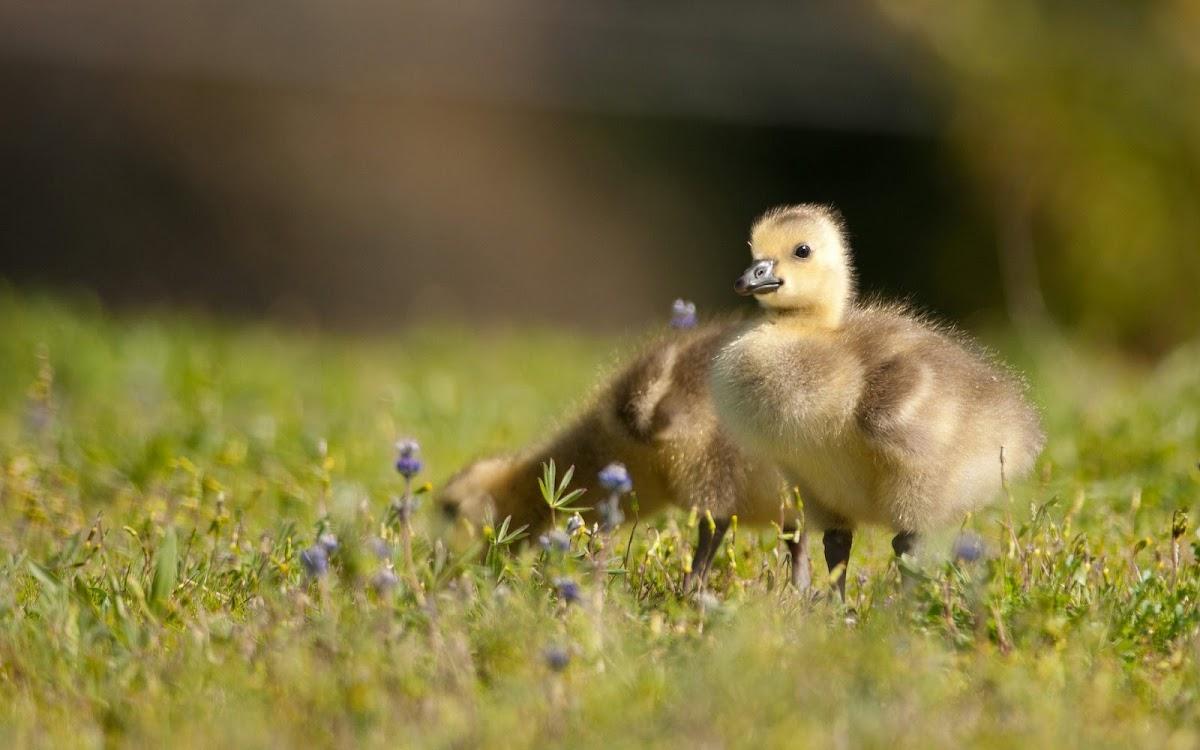 Duck Babies Widescreen HD Desktop Backgrounds, Wallpapers