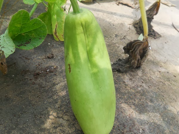 how to grow lauki at home in hindi