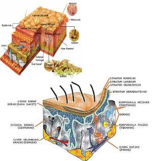Kulit adalah indra yang mempunyai reseptor khusus untuk sentuhan