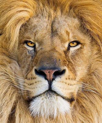león en primer plano
