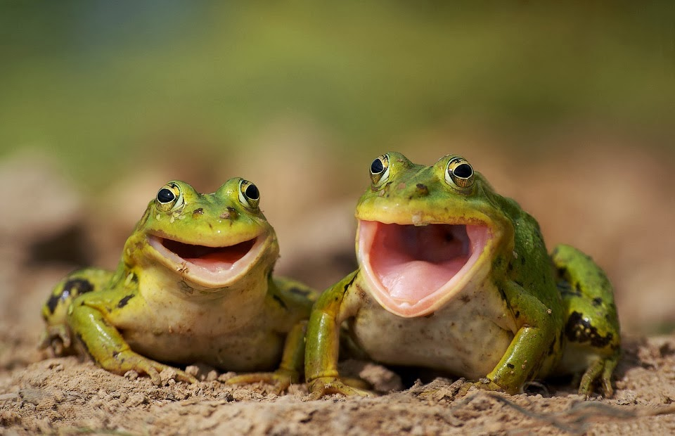 Funny animals of the week - 10 January 2014 (35 pics), happy frogs