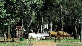 Vacas na praça central de Santiago, Paraguai