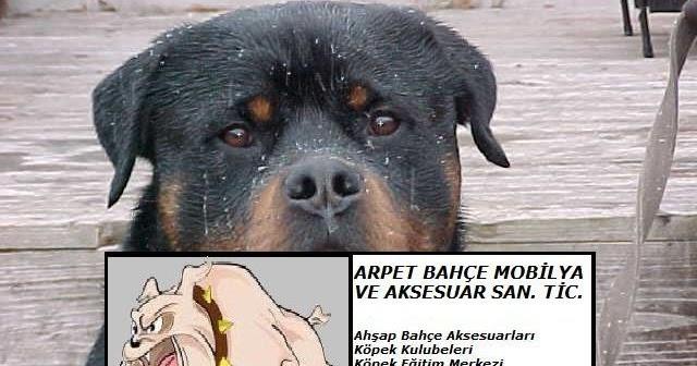 Tibet Shih Tzu - Gözleri düşüren bir köpek 66