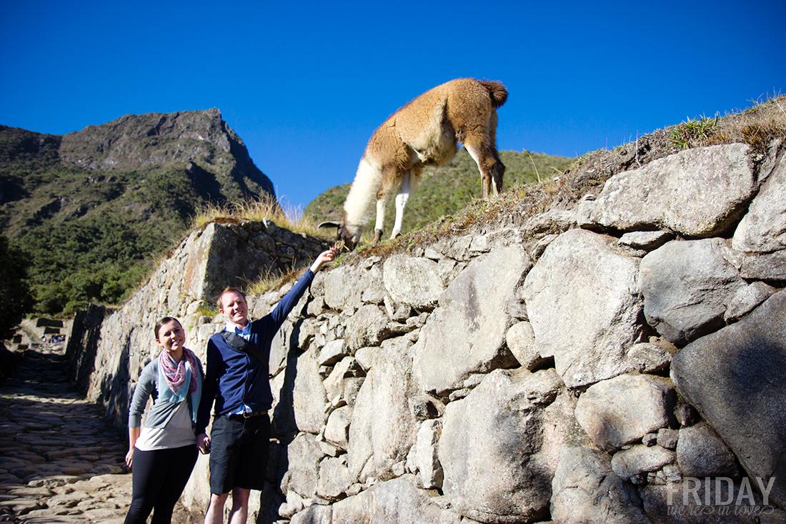 llama of Machu Picchu